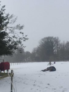 Horses Rolling in the Snow